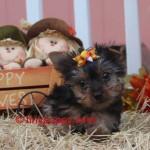Micro Yorkie, teacup Yorkie, tiny yorkie, Yorshire terrier girl, tiny puppy