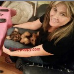 Little Yorkie Boy, Golden Sable Yorkshire Terrier, Gold yorkie