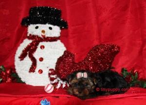 Cobby Body Yorkie, Teddy Bear Yorkie, Little Yorkshire Terrier, Tiny Yorkie Boy