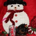 micro yorkie, micro yorkshire terrier, 1 lb yorkie, tiniest yorkie