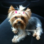 puppy cut haircut, teacup yorkie haircut, yorkie hairstyle, yorkshire terrier hair
