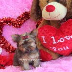 Little YOrkie, Tiny Chocolate Yorkie, tinypuppy, golden sable yorkie