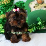 teacup yorkie, tiny yorkie, teacup yorkshire terrier