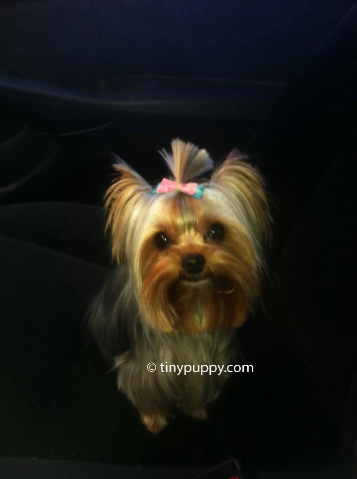 female yorkie haircuts teacup yorkie haircut styles haircuts models ideas 3159 | abby hair style