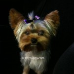 shaved yorkie haircut, teacup yorkie haircut, yorkie hairstyle, yorkshire terrier hair