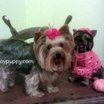 Yorkie Puppy Cut, Yorkshire Terrier puppy cut, Yorkie Haircut, Yorkshire Terrier Hair styles, Grooming Yorkies