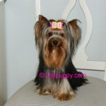 Yorkie Haircut, Yorkshire Terrier Hair styles