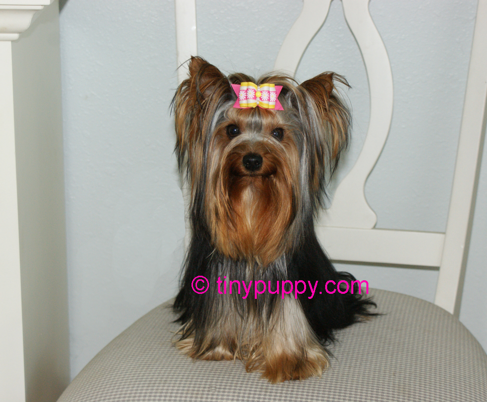 yorkie hair cut styles yorkie haircuts and hairstyles tinypuppy 8517