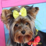 Yorkie Haircut, Yorkshire Terrier Hair styles, Grooming Yorkies