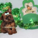 Chocolate teacup yorkie, Chocolate Yorkie, golden sable tiny yorkie, golden sable yorkie