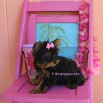 black and tan teacup yorkie, Chocolate teacup yorkie, golden sable yorkshire terrier, micro yorkie puppy, teacup Yorkie Puppy