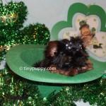 micro yorkie, teacup yorkie, Micro yorkshire Terrier,