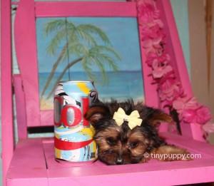 teacup yorkie, half Parti yorkie, Black and Tan yorkshire terrier puppy, micro yorkie