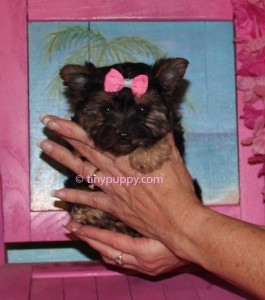 teacup yorkie, half Parti yorkie, Black and Tan yorkshire terrier puppy, micro yorkie