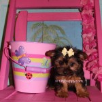 Yorkshire Terrier Hair styles, Grooming Yorkies, Puppy cut, Teddy Bear face yorkie, teacup yorkie, tiny puppy