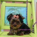 teacup yorkie, yorkie, Black and Tan yorkshire terrier puppy, micro yorkie