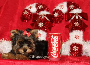 teacup yorkie, little yorkshire terrier, tinypuppy, parti yorkie