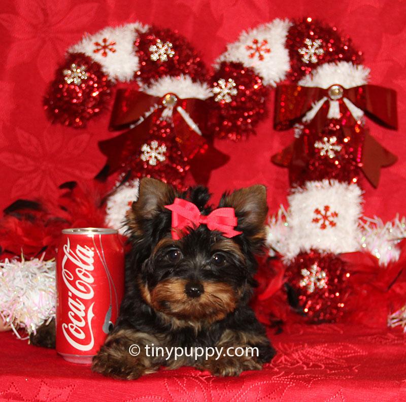 teacup yorkie, black and tan yorkie, yorkshire terrier