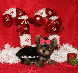 Christmas puppy, yorkshire terrier, little yorkie puppy, teacup yorkie, tinypuppy
