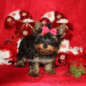 teacup yorkie, black and tan yorkie, yorkshire terrier