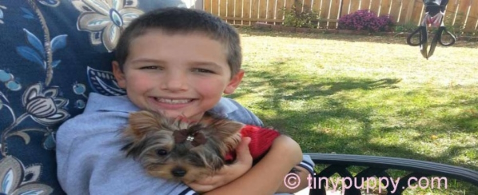 Micro Teacup Yorkie Breeder Puppies For Sale In Texas Tinypuppy