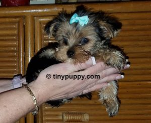 micro yorkie Mickey, teacup yorkie, tinypuppy, tiny yorkshire terrier