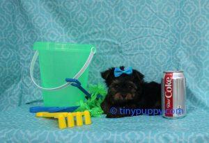 micro Yorkshire Terrier, micro yorkie, teacup yorkie, tiny puppy