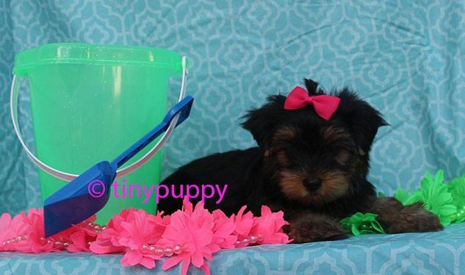 teacup puppy, teacup yorkshire terrier, Little yorkie, black and tan yorkie