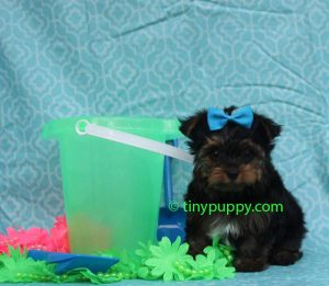 micro Yorkshire Terrier, micro yorkie, teacup yorkie, tiny puppy