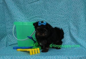 micro yorkie, yorkshire terrier, tinypuppy, teacup yorkie